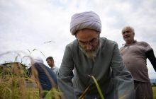 حضور سرزده امام جمعه رشت در مزارع برنج و کمک با شالیکاران + تصاویر