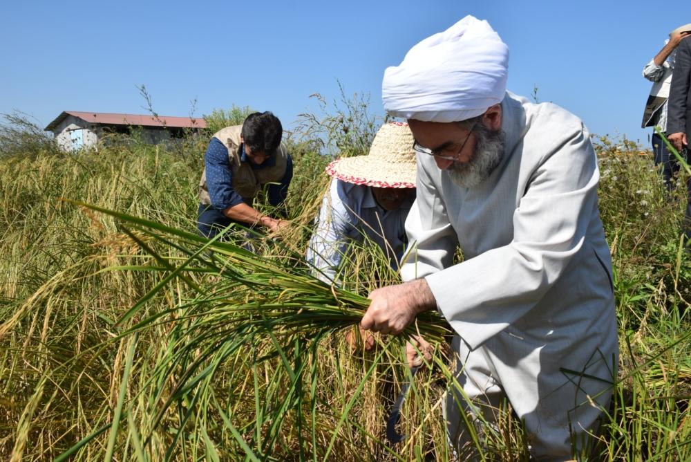 """دروی دستی """"برنج"""" توسط آیت الله فلاحتی در مزرعه کشاورزی+ گزارش تصویری"""